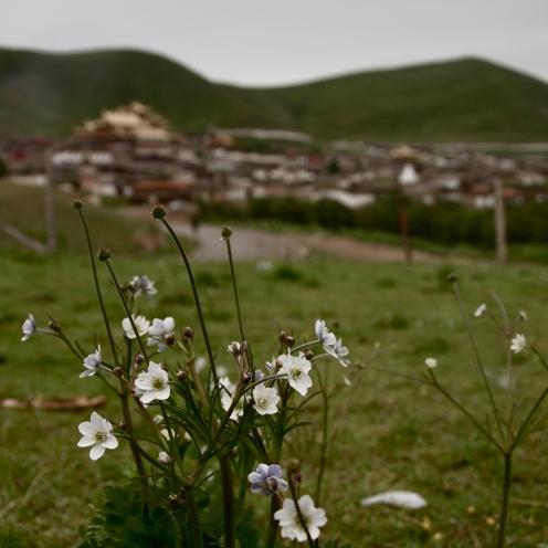 Gaisang Flowers
